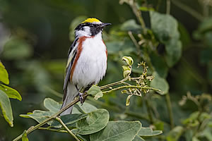 sanctuary-at-berry-chestnut-sided-warbler-300x200.jpg