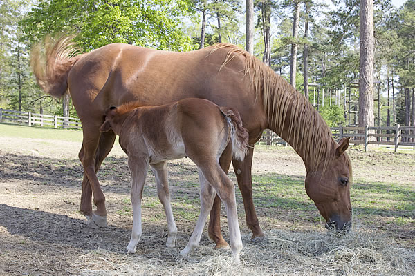 Spring Mountain Colt and Mother