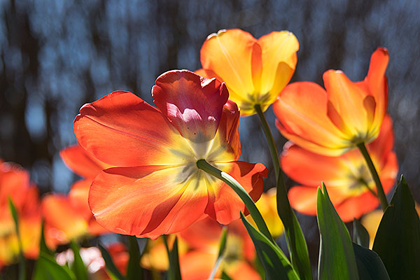 08 - Tulips in the sunshine