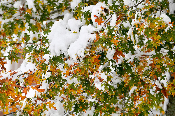 09 - Snow on the remaining fall leaves